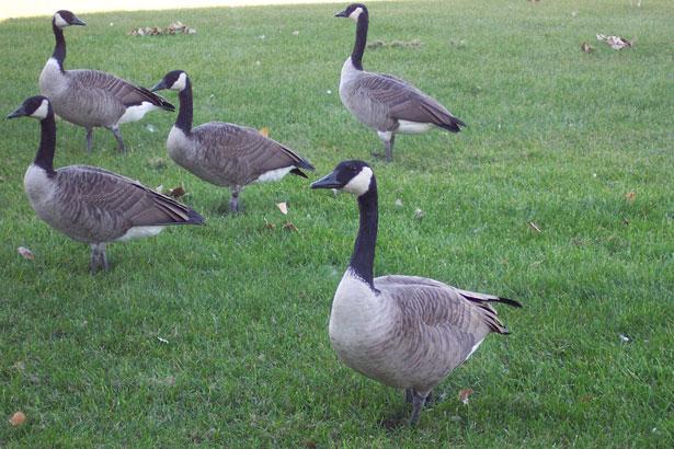 canada-geese-urban-23441279473360OMdm